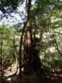 [鹿児島][屋久島][白谷雲水峡]女神杉