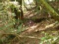 [鹿児島][屋久島][白谷雲水峡][動物]ヤクシカのケツ