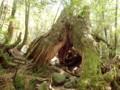 [鹿児島][屋久島][白谷雲水峡]二代くぐり杉