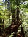 [鹿児島][屋久島][白谷雲水峡]三本槍杉