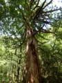 [鹿児島][屋久島][白谷雲水峡]三本足杉