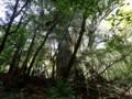 [鹿児島][屋久島][白谷雲水峡]二代大杉