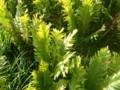 [群馬][福島][尾瀬ヶ原]尾瀬の植物