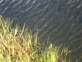 [群馬][福島][尾瀬ヶ原]イトトンボ