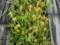 尾瀬の植物