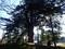 イヌマキ大木