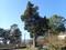 ビャクシン大木