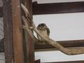 [動物]インドオオコノハズク