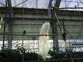 [動物]白孔雀