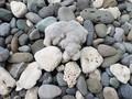[小笠原]石かと思いきやサンゴ