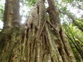 [小笠原]ゴムの木