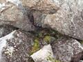 [平取][幌尻岳]ナキウサギ食料貯蔵庫