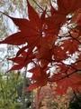 [札幌]道庁の紅葉