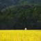 京都新聞写真コンテスト 黄金に輝く稲田