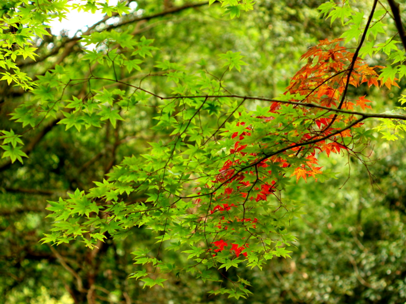 京都新聞写真コンテスト 気の早い紅葉