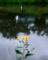 京都新聞写真コンテスト 菊芋咲く賀茂川