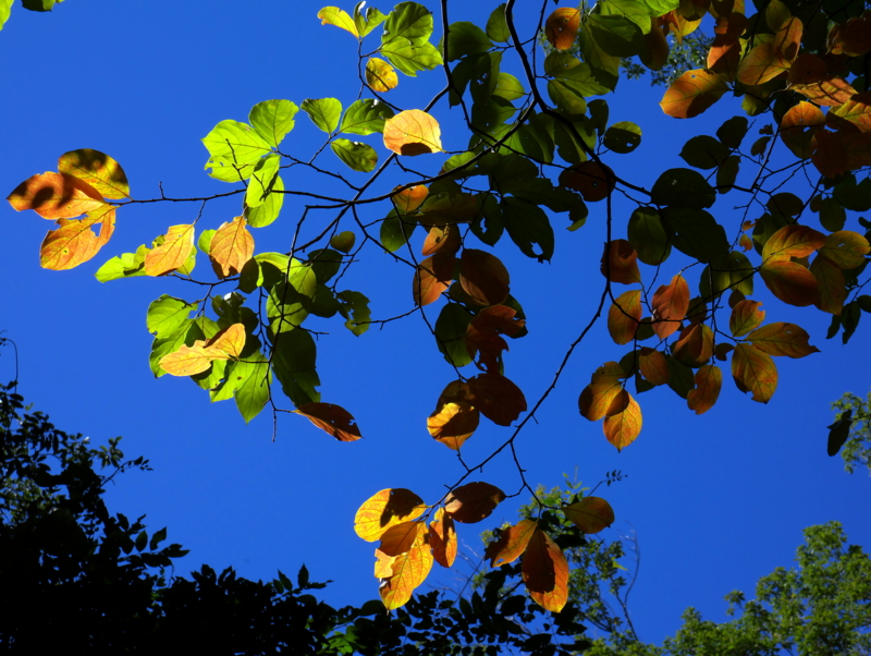 京都新聞写真コンテスト 光る秋の柿葉