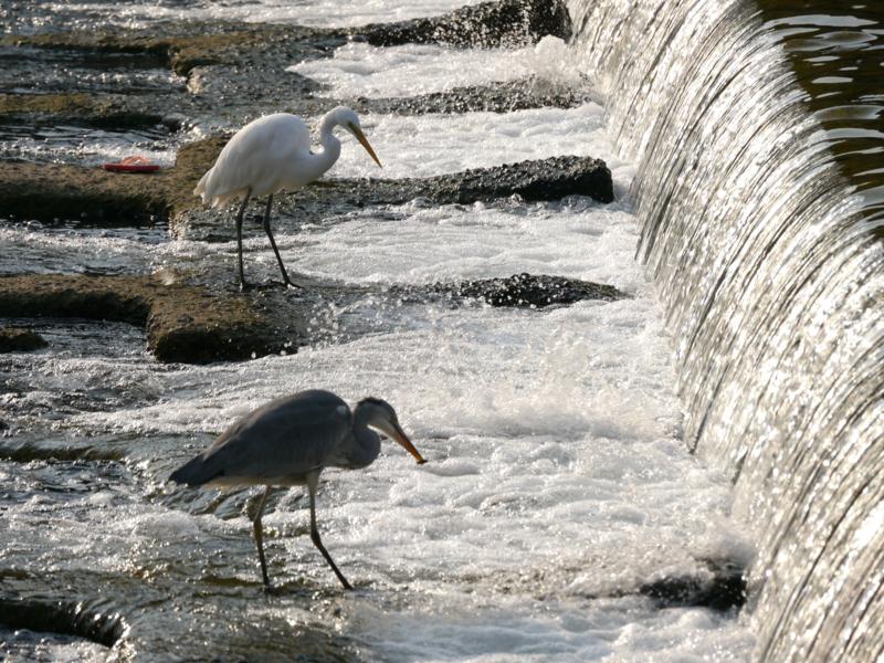 京都新聞写真コンテスト 先に魚を獲るのは? いざ勝負
