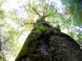 京都新聞写真コンテスト トチの巨木