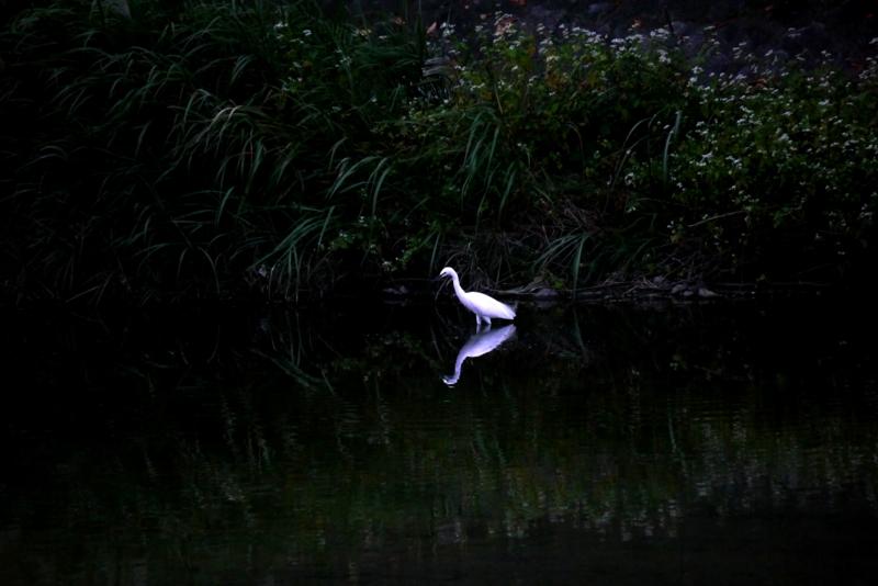 京都新聞写真コンテスト 白鷺一羽