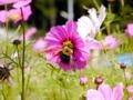 京都新聞写真コンテスト 秋桜と熊蜂