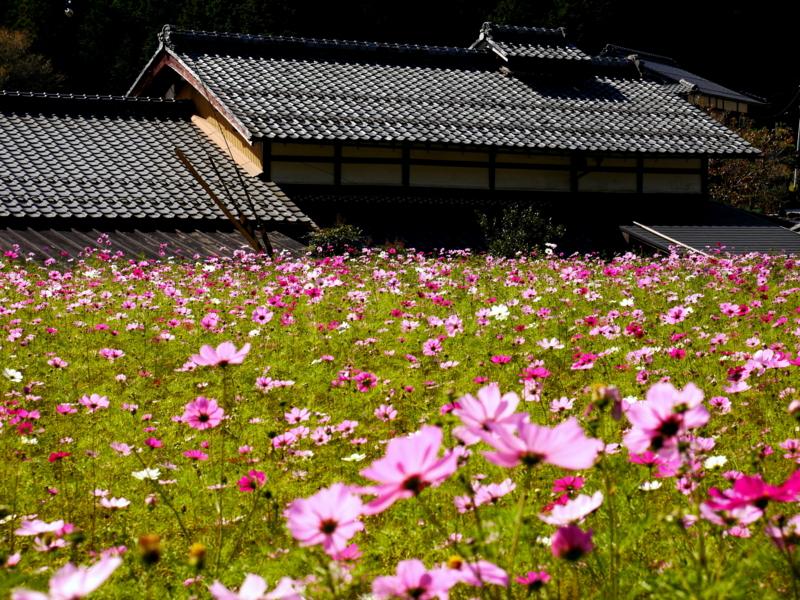 京都新聞写真コンテスト 秋桜咲く大原