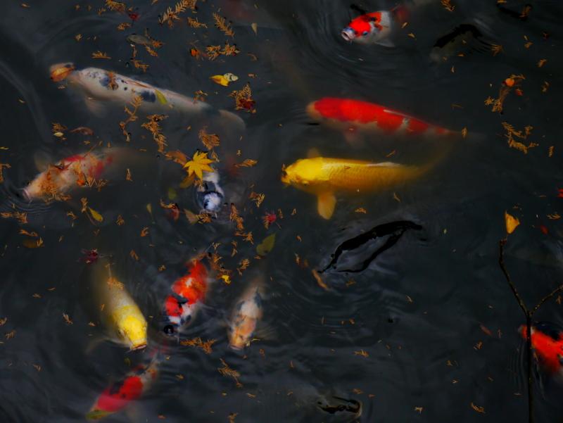 京都新聞写真コンテスト 池の中も錦色