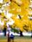 京都新聞写真コンテスト 見上げれば黄色