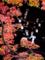 京都新聞写真コンテスト いまだ斑紅葉
