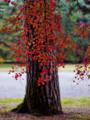 京都新聞写真コンテスト 紅葉と松