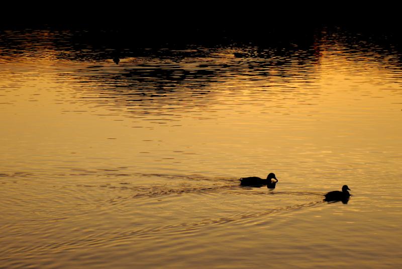 京都新聞写真コンテスト 黄金の水面