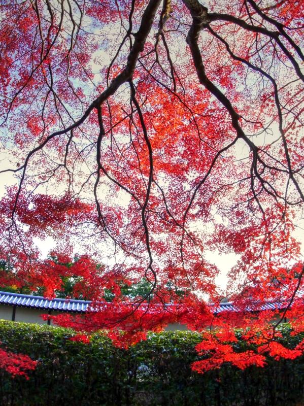京都新聞写真コンテスト 紅葉の天蓋