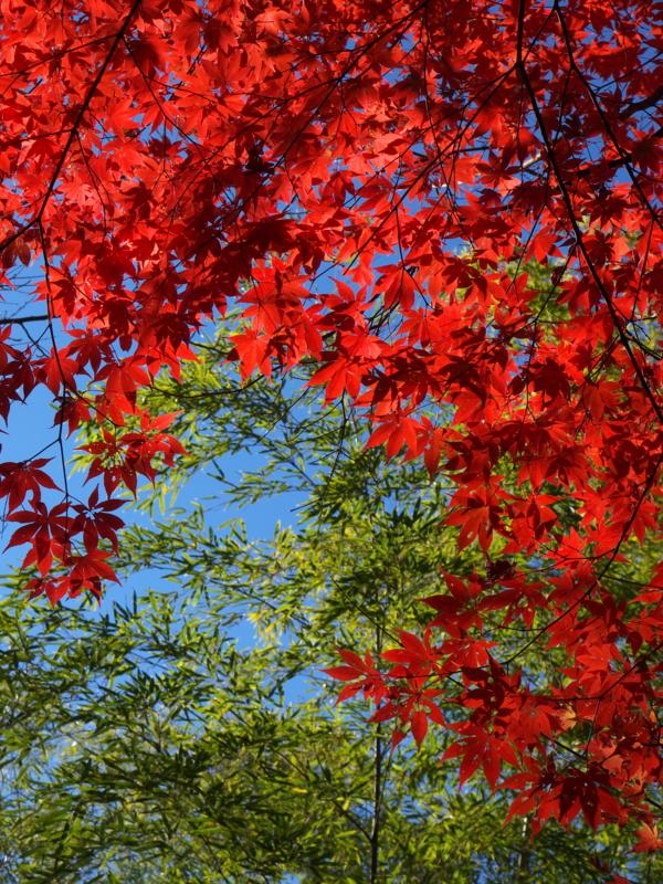 京都新聞写真コンテスト やっと紅葉真っ盛り