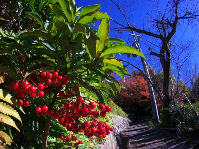 京都新聞写真コンテスト 万両のある風景