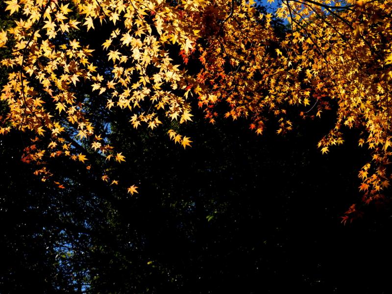 京都新聞写真コンテスト 見上げれば金の星々