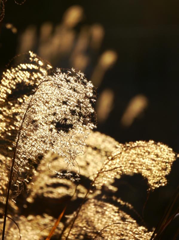 京都新聞写真コンテスト 金色の穂芒