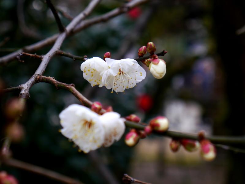 京都新聞写真コンテスト 梅ほころぶ