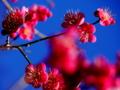 京都新聞写真コンテスト 紺碧の空に映える紅梅