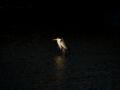 京都新聞写真コンテスト 輝くアオサギ