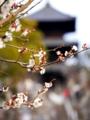 京都新聞写真コンテスト 白梅と三重塔