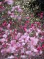 京都新聞写真コンテスト 白紅ピンクの競演