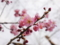 京都新聞写真コンテスト 椿寒桜も開花