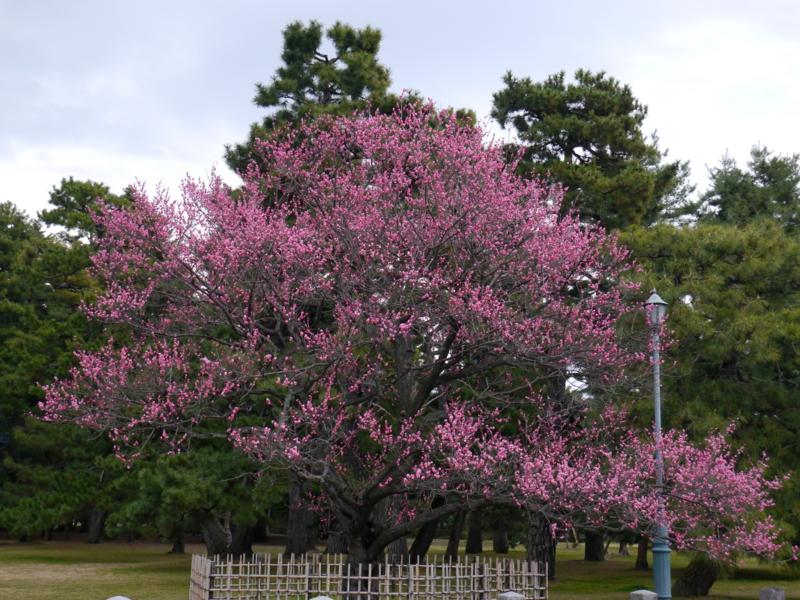 京都新聞写真コンテスト 御苑黒木の梅