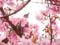 京都新聞写真コンテスト 河津桜とヒヨドリ