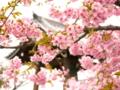 京都新聞写真コンテスト 東寺の河津桜