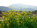 京都新聞写真コンテスト 菜の花咲く桂川河川敷