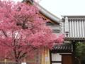 京都新聞写真コンテスト 長徳寺おかめ桜