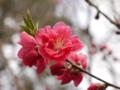 京都新聞写真コンテスト 桃始笑(ももはじめてさく)