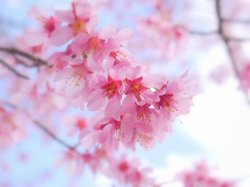 京都新聞写真コンテスト うつむき咲くおかめ桜