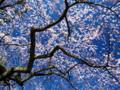 京都新聞写真コンテスト 青空に映える糸桜